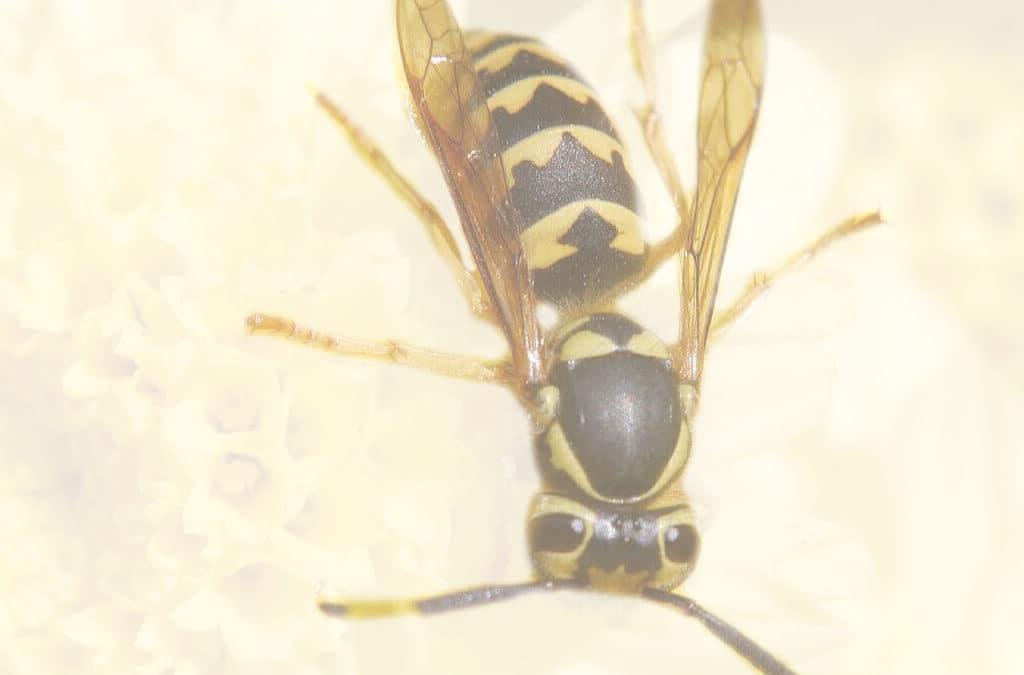 Wespen Blattenstrasse